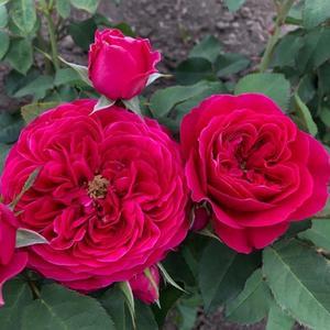 Роза чайно-гибридная английская Д. Остина Darcey (Дарсей)