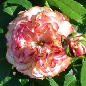 Роза Флорибунда Latin Pompon (Лэтин Помпон)