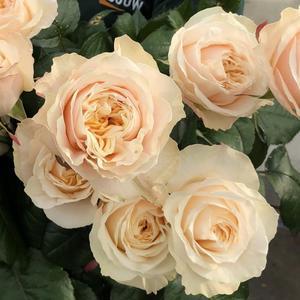 Роза пионовидная Victorian Peach (Викторианский персик)