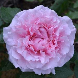 Роза Чайно-гибридная Английская Д. Остина Miranda (Миранда)