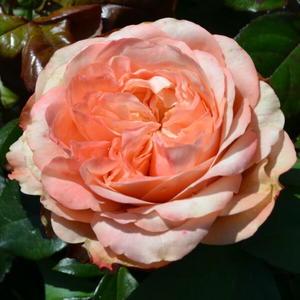 Роза пионовидная Kahala (Кахала)