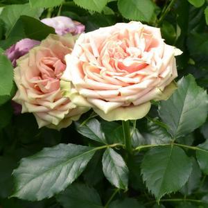 Роза чайно-гибридная Wild Look (Дикий Взгляд)