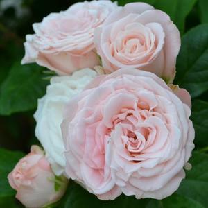 Роза флорибунда Bombastic (Бомбастик)