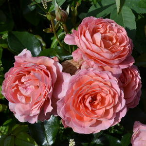 Роза Флорибунда Pink Abundance (Пинк Эбуданс)