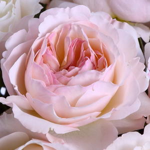 Роза английская Д. Остина Keira (Кейра)