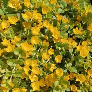 Цветущий почвопокровник