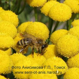 Рассада пряных и ароматических растений Пижма бальзамическая (Thanacetum balsamita)
