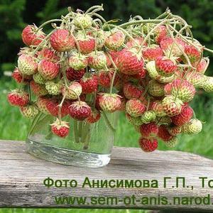 Семена клубники и земляники. Клубника или земляника мускатная (Fragaria moschata)