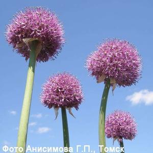 Семена и луковицы луков Лук Анзур, лук гигантский (Allium giganteum)