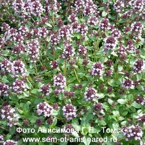 Семена пряных и ароматических растений Чабрец или тимьян ползучий (Thymus serpyllum)