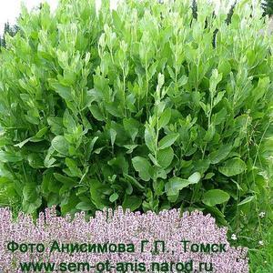 Рассада пряных и ароматических растений Калуфер или Пиретрум бальзамический (Pyretrum balsamita)