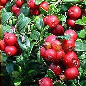 Семена брусники Брусника обыкновенная (Vaccinium vitis-idaea)
