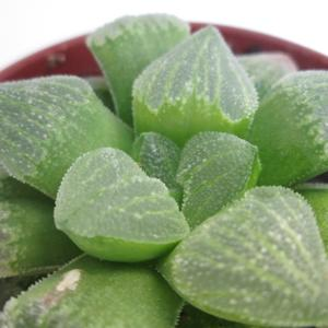 Семена и саженцы суккулент Haworthia pygmaea f. crystallina  - растение