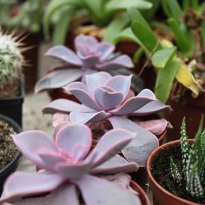 Семена и саженцы суккулент Echeveria cv. 'Perle von Nurnberg'  - лист