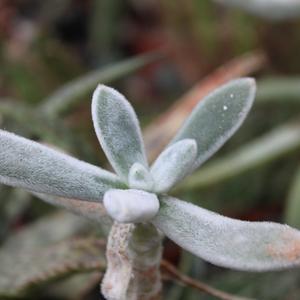 Семена и саженцы суккулент Echeveria leucotricha - лист