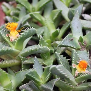 Семена и саженцы суккулент Faucaria lupine - сеянец