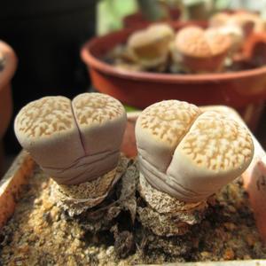 Семена и саженцы суккулент Lithops mix - растение