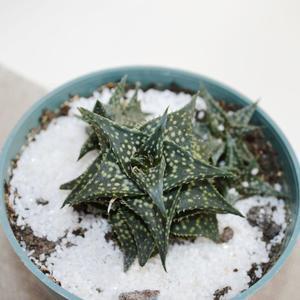 Aloe descoingsii (Алоэ дескоингсии) - делёнка
