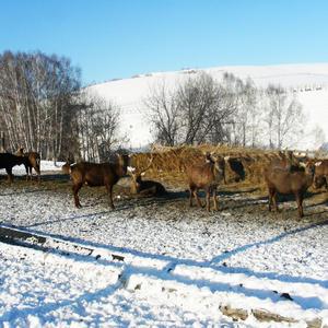 Пятнистые олени в предгорьях Алтая