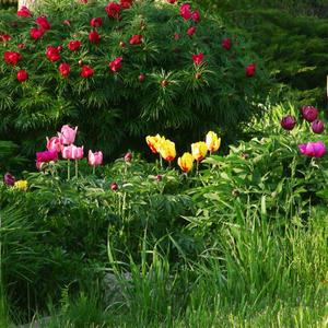 Тюльпаны и марьин корень