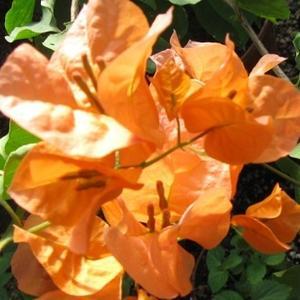 Бугенвиллия Сорт Orange Glow