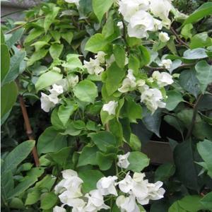 Бугенвиллия Сорт Jamaica White