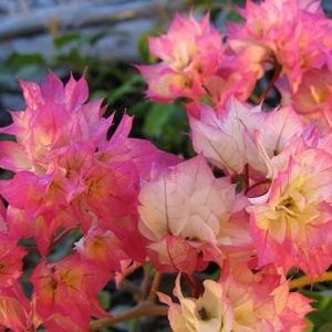Бугенвиллия Сорт Limberlost Beauty