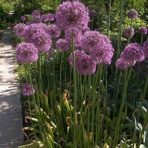 Семена Allium 'Lucy Ball' (Лук 'Lucy Ball')