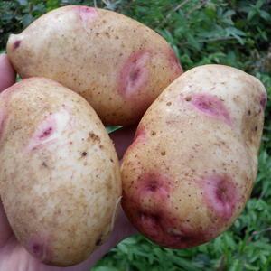Картофель Галактика