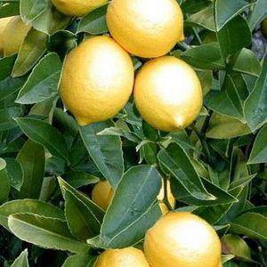 Лимон Лимончелло