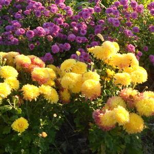 Хризантема корейская Жёлтая крупноцветковая
