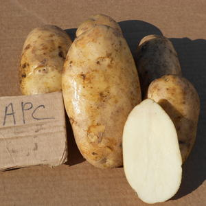 Картофель семенной. Барс - отобранная форма