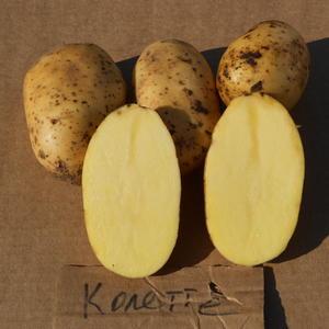 Картофель семенной Колетте