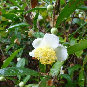Чайный куст (родственник камелии) цветет в ноябре