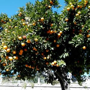 Где-то сугробы, а где-то апельсины поспели!