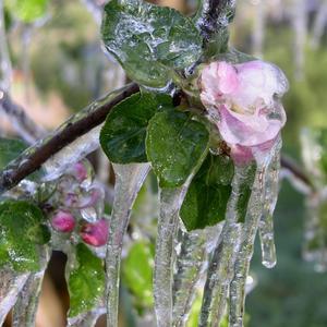 Расцветали яблони и груши - 2. Результат ночного дождевания, цветы не замерзли!