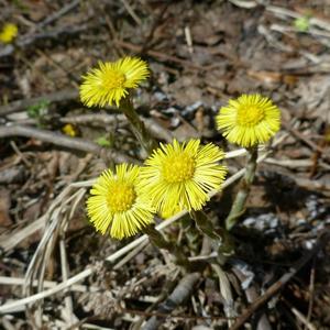 Солнечный цветок мать-и-мачехи