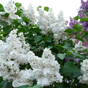 Моник Лемуан цветёт
