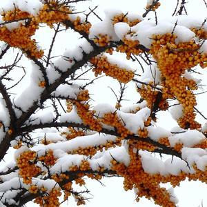 Начало зимы... Все ягодки еще на ветках!