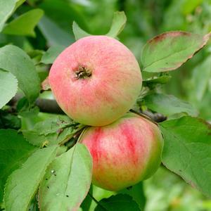 Поспевают осенние яблочки