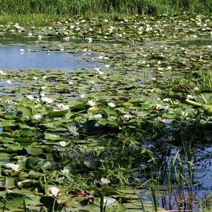 А Вы знаете, что лилии растут только в кристально чистой воде?