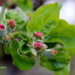 Будущие яблочки
