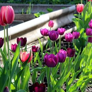 Цветёт моя тюльпановая дорожка