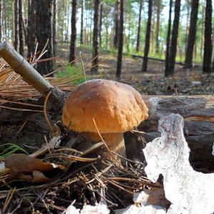 """Если неказист на вид, прячется умело, это самый вкусный гриб, под названьем """"белый"""". Осторожно его срежь, положи  в корзину, маринуй, соли и ежь до весны всю зиму"""