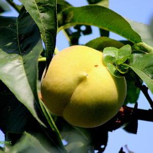 Сентябрьский персик