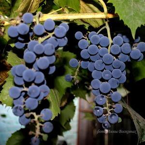 Виноград ,виноград, В кучке шарики висят, Любят кушать эти шарики, Все, от взрослых и до маленьких