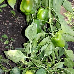 Сорт Биг Мама от Аэлиты радует обилием плодов уже не первый год