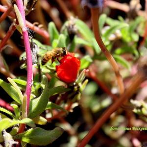 Последние цветочки портулака облетает труженица пчела