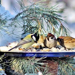 В предновогодний солнечный денёк собрались птахи на пирушку....