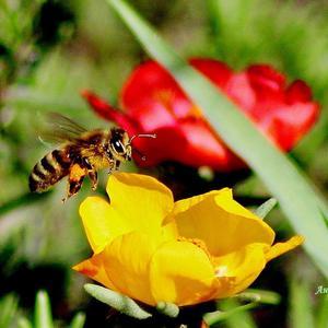 Наполнен мёдом портулак